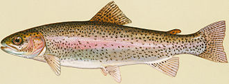 Aquaculture of salmonids - Rainbow trout