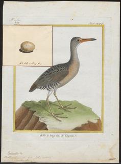Mangrove rail Species of bird