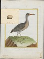 Rallus longirostris - 1700-1880 - Print - Iconographia Zoologica - Special Collections University of Amsterdam - UBA01 IZ17500025.tif