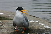 River Tern calling