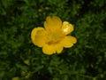 Ranunculus serbicus RB2.jpg