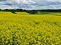 Rapsblüte - panoramio (1).jpg