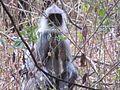 Rare variety monkey in india.jpg