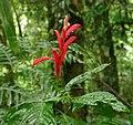 Razisea spicata Costa Rica.JPG