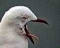 Red-Billed Gull (7532373004).jpg
