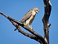 Red-Shouldered Hawk-27527-1.jpg