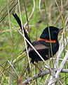 Red-backed Fairy-wren. Male. Malurus melanocephalus. - Flickr - gailhampshire.jpg