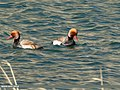 Red-crested Pochard (Netta rufina) (33737890350).jpg