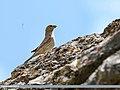 Red-fronted Rosefinch (Carpodacus puniceus) (36284142963).jpg