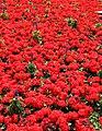 Red (19378442453).jpg
