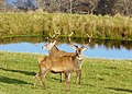 Red Deer at Sallachy - geograph.org.uk - 1050644.jpg