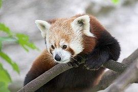 Red Panda b
