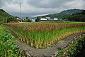 Red Rice Paddy field in Japan 013.jpg
