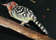 Red and Yellow Barbet.jpg