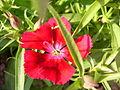 Red flower (3518328525).jpg