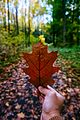 Red oak leaf in hand.jpg