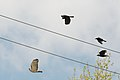 Redtail hawk chased by crows 4391.jpg