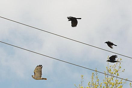 Red-tailed hawks frequently have to cope with mobbing by crows. Redtail hawk chased by crows 4391.jpg
