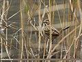 Reed Bunting (Emberiza schoeniclus) (31752245036).jpg