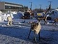 Reindeer Oulu 20100214.jpg