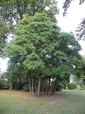Sassafras albidum - Parc Oberthür, Rennes