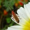 Rhagonycha fulva. Cantharidae - Flickr - gailhampshire (1).jpg