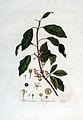 Rhamnus frangula — Flora Batava — Volume v3.jpg