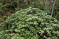 Rhododendron brachycarpum 12.jpg