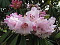 Rhododendron calophytum (1).jpg