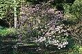 Rhododendron schlippenbachii Kuningataratsalea C IMG 3208.JPG