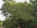 Rhus mysorensis (Mysore Sumac) W IMG 3603.jpg