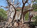 Ribeira Grande de Santiago-Baobabs (3).jpg