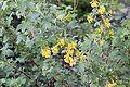 Ribes aureum floraison.jpg