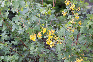 Ribes aureum - Image: Ribes aureum floraison
