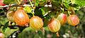 Ribes uva-crispa.jpg