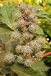 Ricinus communis DSC 0022.JPG