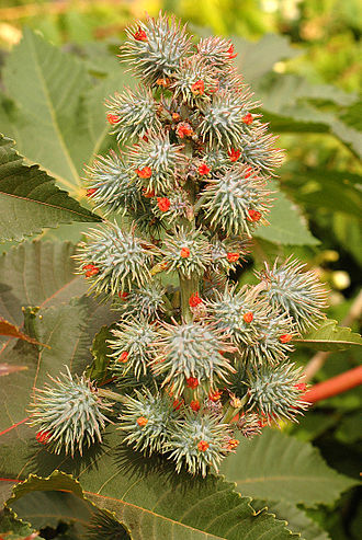 Ricinus - Green variant of Ricinus communis, post-bloom, with developing seed capsules