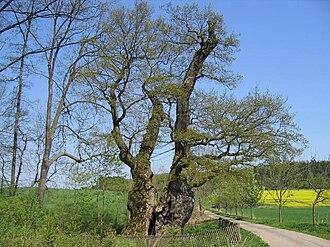 Teutoburg Forest / Egge Hills Nature Park - The natural monument of Rieseneiche near Borlinghausen