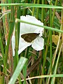 Ringlet on bindweed - geograph.org.uk - 885413.jpg