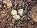 River tern-Nest 12 - Koyna 042011.jpg