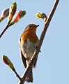 Robin (5603438773).jpg