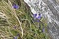 Roc'h Trévezel - Polygala vulgaris.jpg