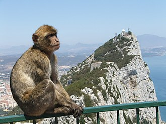 Barbary macaques in Gibraltar - A Barbary macaque sitting on a fence at the Gibraltar Cable Car top station.