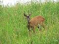 Roe deer buck - geograph.org.uk - 485214.jpg