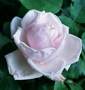 Rosa 'Mrs. Harkness' - Image: Rosa 'Paul's Early Blush'