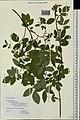 Rosa majalis herbarium (02).jpg