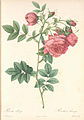 Rosa rapa.jpg