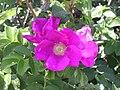 Rosa rugosa Yarmouthport flower-1.jpg