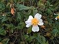 Rosa sempervirens 58434668.jpg