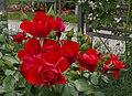 Rosarium Baden Rosa 'Black Forest Rose' Kordes 2010 01.jpg
